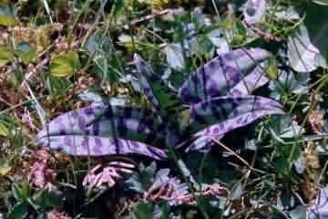 Common Spotted Orchid leaves